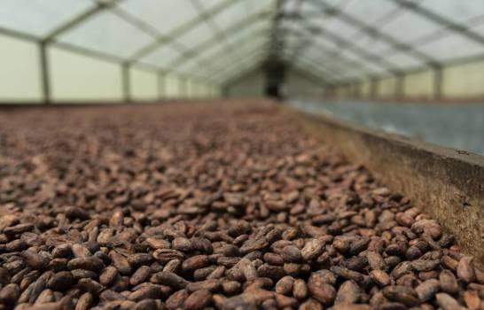 <p>Sector cacao dominicano golpeado por la sequ&iacute;a y el COVID-19</p>