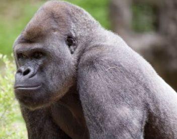 <h1>Detectan contagio de Covid-19 en gorilas del zoológico de Atlanta</h1>